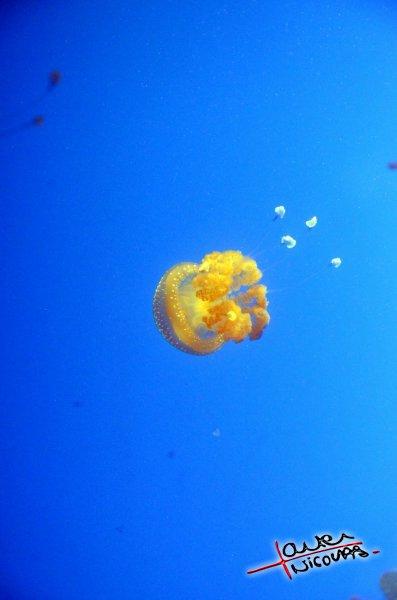 Meduse - Aquarium La Rochelle (16)