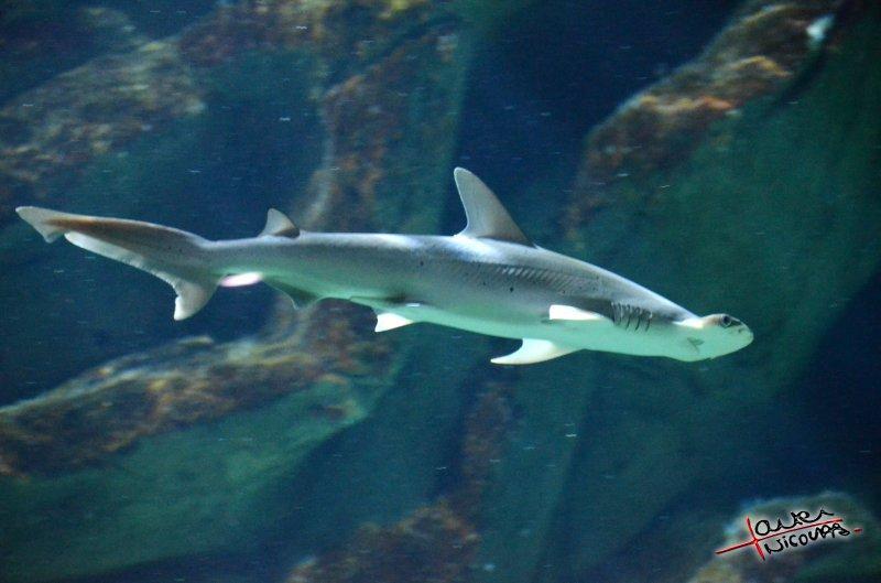 Requin - Aquarium La Rochelle (46)