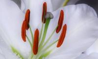 Fleur de Lys (2)