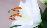 Fleur de Lys (4)