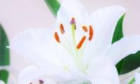 Fleur de Lys (5)