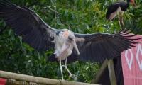 Puy du Fou - Le bal des oiseaux fantomes (097)