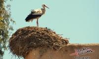 Cigogne au maroc