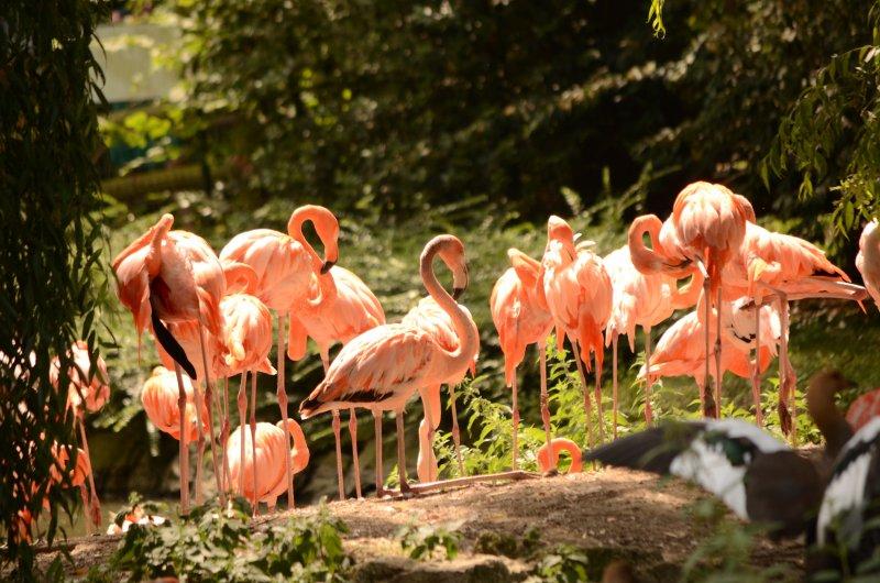 ZooParc de Beauval - Flaments Roses