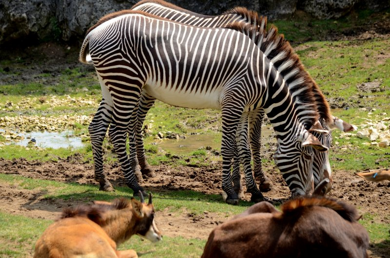 ZooParc de Beauval - Zebre