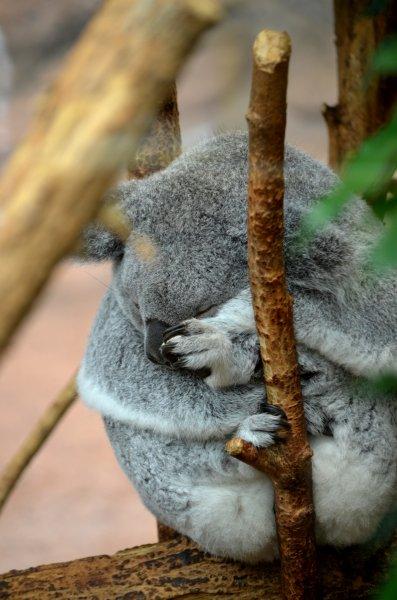ZooParc de Beauval - Koala