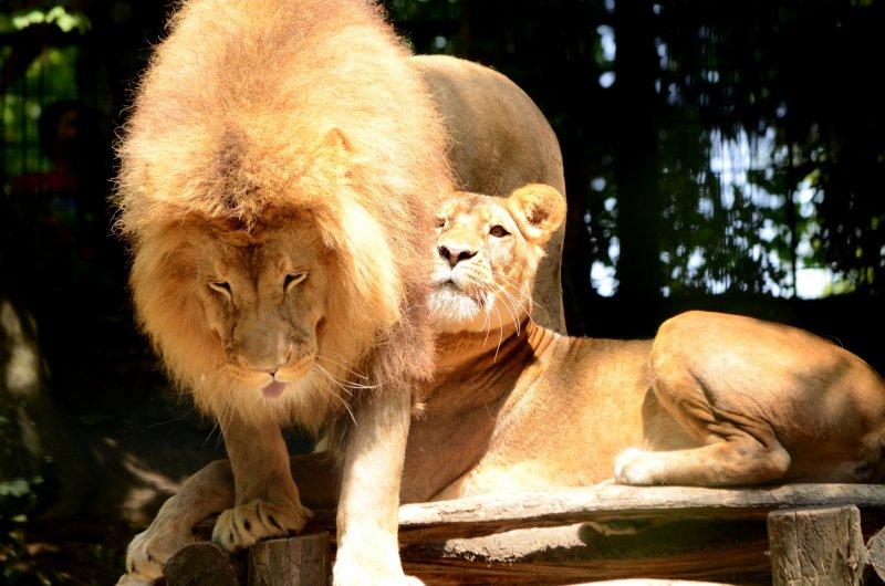 ZooParc de Beauval - Lion
