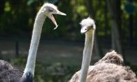 ZooParc de Beauval - Autruches