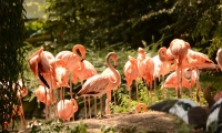 ZooParc de Beauval - Flaments Roses