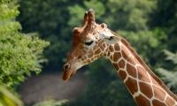 ZooParc de Beauval - Girafe