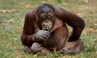 ZooParc de Beauval - Orang outan