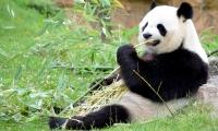 ZooParc de Beauval - Panda