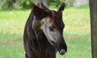 ZooParc de Beauval - Okapi