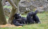 ZooParc de Beauval - Gorille