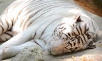 ZooParc de Beauval - Tigre blanc